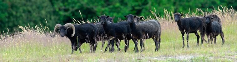 GEMO Groupement des Eleveurs de Moutons d'Ouessant
