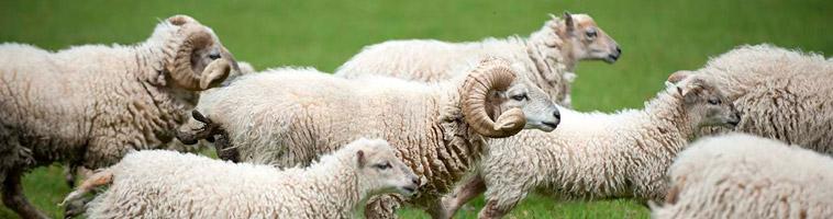 Troupeau de moutons d'Ouessant blancs