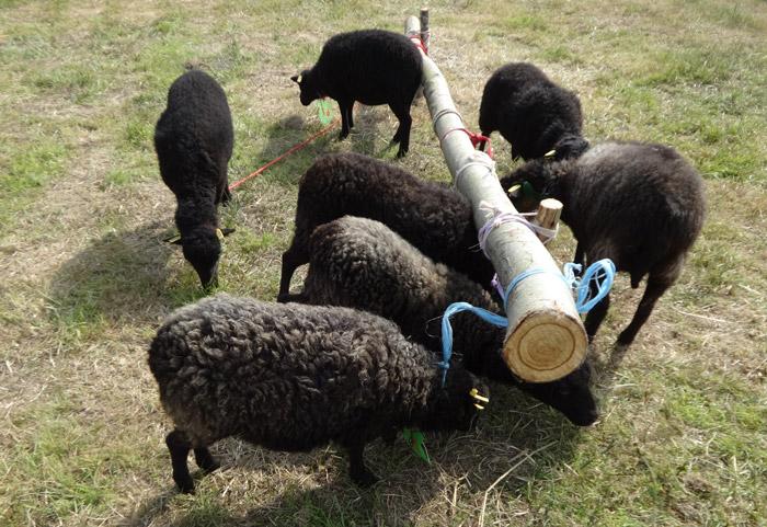 Concours national 2014 du mouton d'ouessant