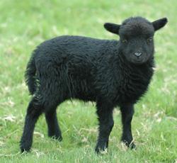 agneau ouessant noir