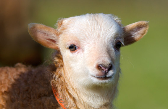 agneau ouessant blanc