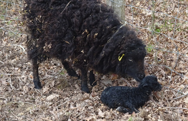 GEMO mouton d'ouessant