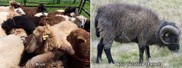 autres couleurs standard du mouton d'Ouessant