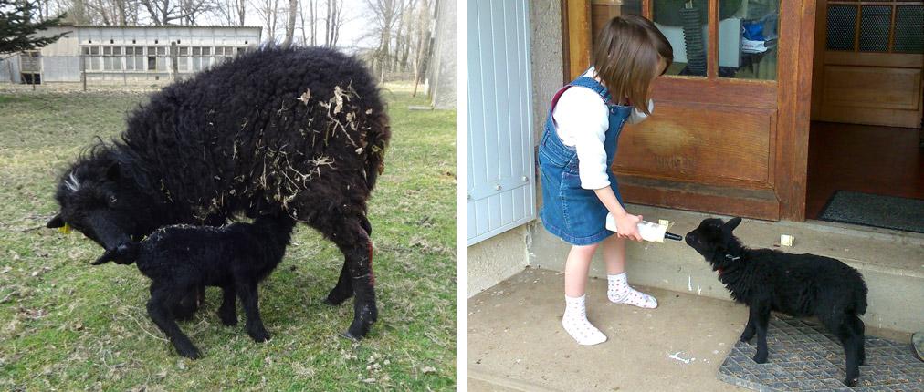 Alaitement de l'agneau Ouessant par la brebis et le biberon