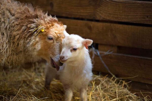 brebis et agneau d'Ouessant