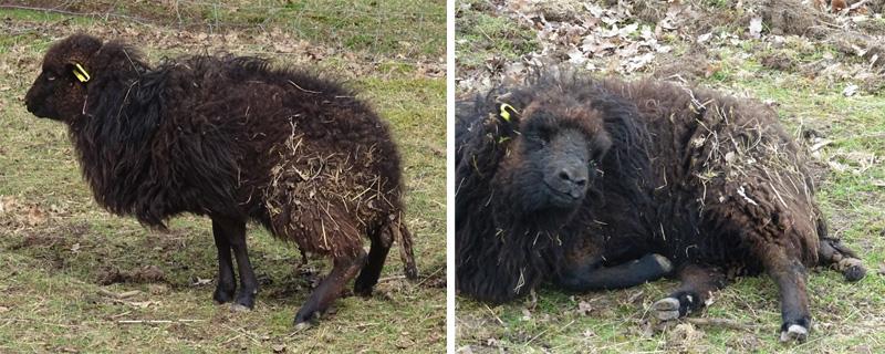 Brebis en phase de travail de l'agnelage