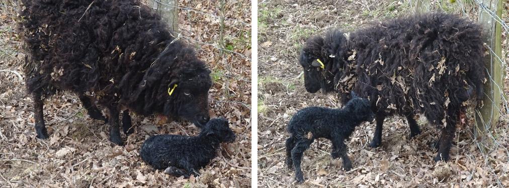 Brebis Ouessant et son agneau nouveau né