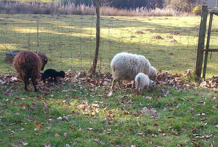 Brebis Ouessant et agneaux