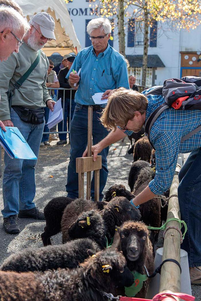 concours national 2015 mouton d'ouessant