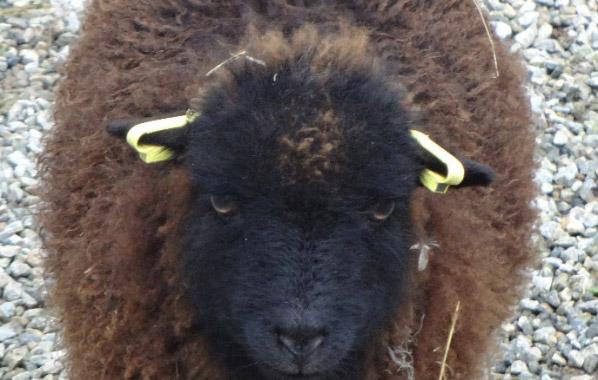 Identification boucles mouton ouessant