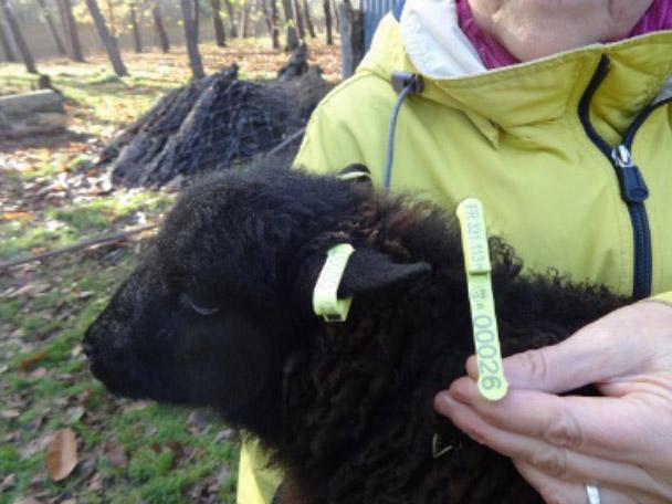 identification du mouton d'Ouessant et nouvelles boucles
