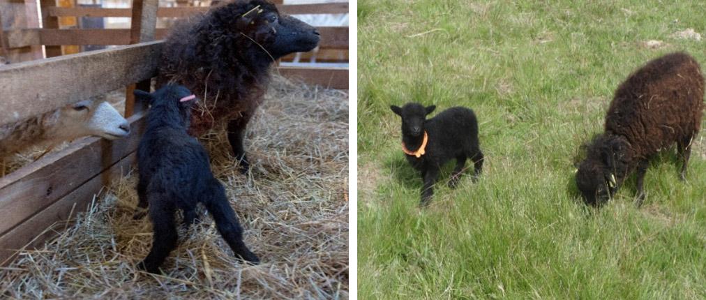 Identification provisoire des agneaux ouessant