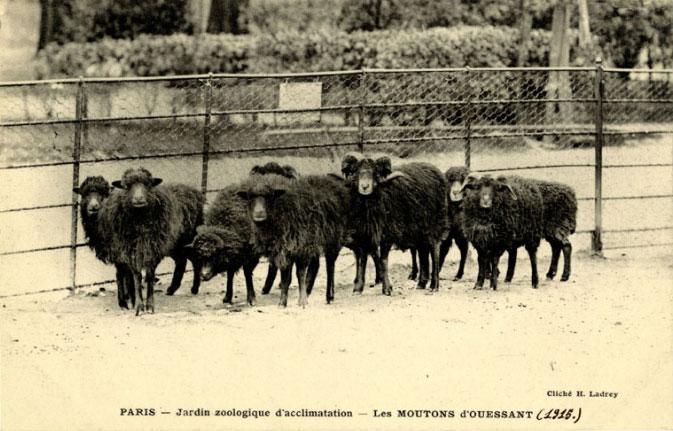carte postale de moutons d'ouessant au jardin zoologique d'acclimatation