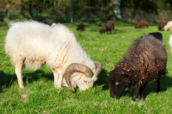 livre d'origines du mouton d'Ouessant