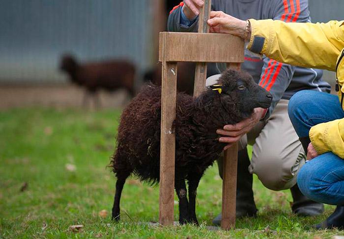 Mesurer ses moutons d'ouessant
