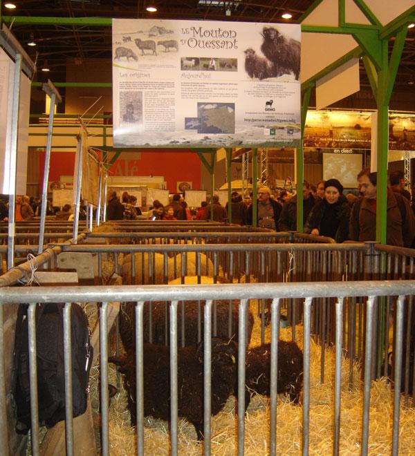 le mouton d'Ouessant au salon de l'agriculture