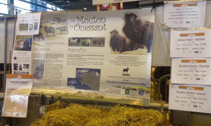 le mouton d'ouessant au salon de l'agriculture 2016