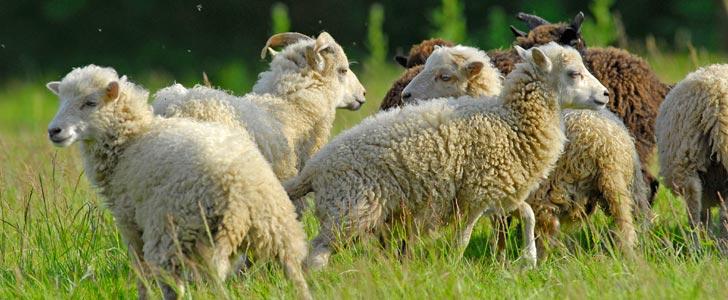 Moutons d'ouessant blancs