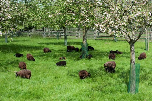 troupeau de moutons d'Ouessant