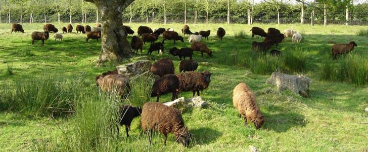 standard du mouton d'ouessant