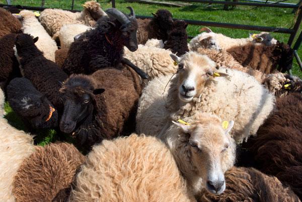 recensement mouton ouessant gemo 2015