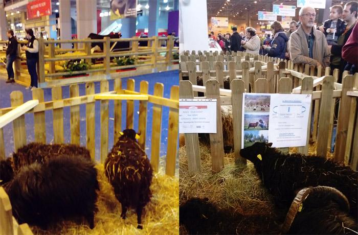Le mouton d'Ouessant au Salon de l'Agriculture 2020