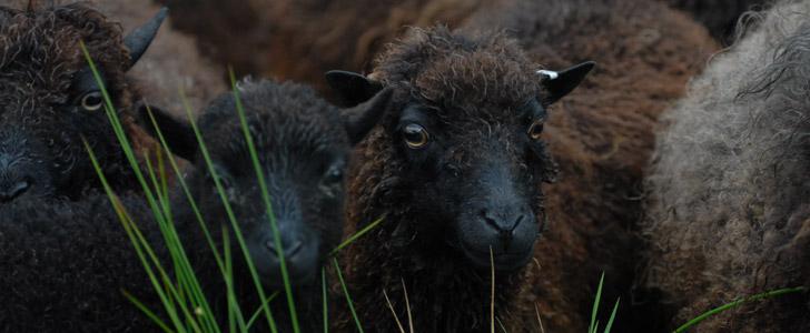 nourriture du mouton d'ouessant
