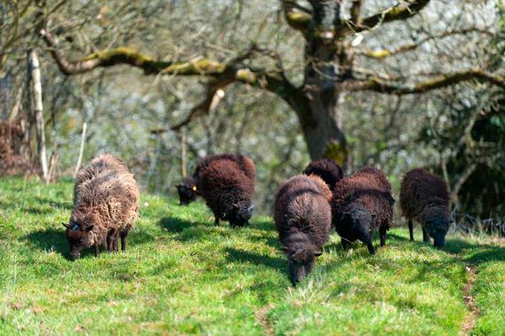 La sauvegarde du mouton d'Ouessant